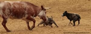 Stier und Hund